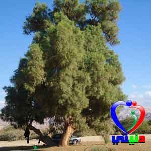 شجرة الاثل و فوائدها