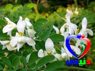 عشبة المورينجا moringa